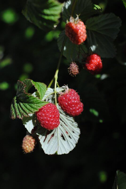 raspberries-ready-to-be-picked