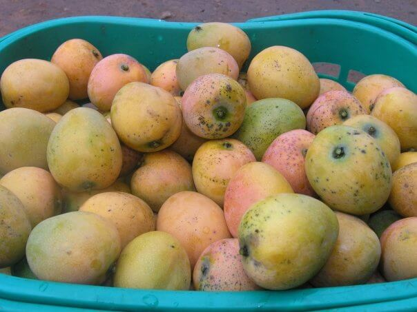 Mangoes in a basket